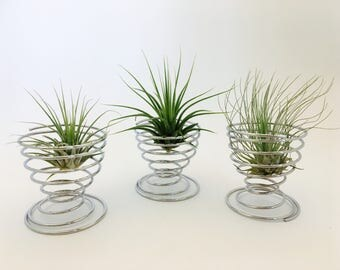 Medium tillandsia air plant holder, terrarium, tillandsia
