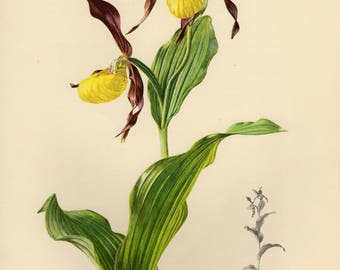 Vintage lithograph of the lady's-slipper orchid from 1953