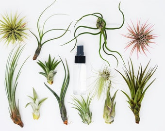 """10 Air Plant Assortment w/ Spray Bottle / 6 Different Plant Varieties / Up to 7"""" Large"""