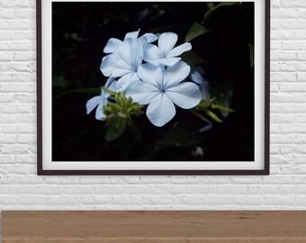 Floral Print, Floral Photography, Plumbago Print, Print 8 x 10, Print 11 x 14 Digital Download