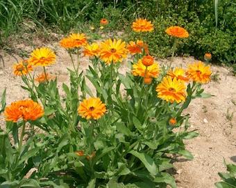 Calandula Seeds, cool-season annual cut flower, 50 seeds