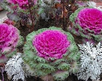 50x Ornamental Cabbage Seeds Bakhromchataya Annual Decorative Plant