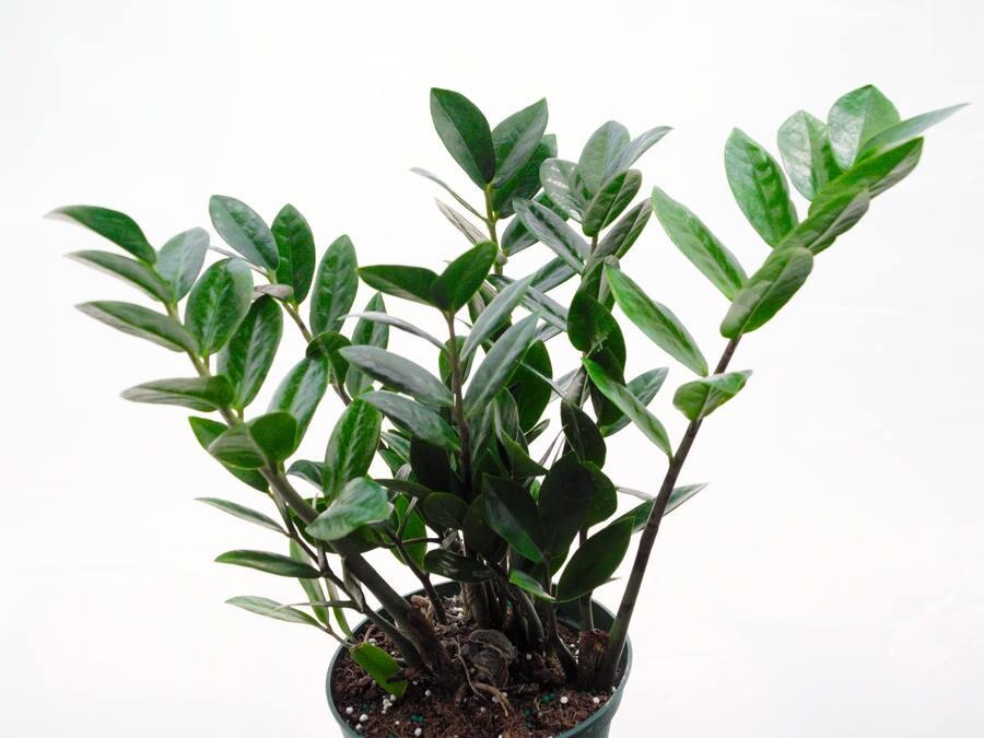 Zz Plant 12 Tall Cardboard Palm Tree Air Purifying