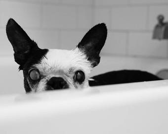 Bath// Boston terrier picture// Boston terrier print// Bathroom Print// Bathroom Decor// Black and White Photography