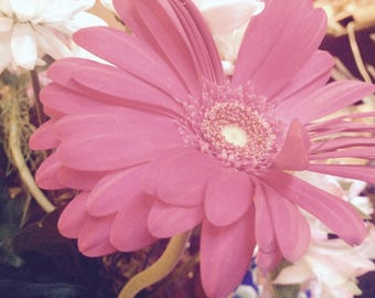 Pink Gerber Daisy with flowers in background