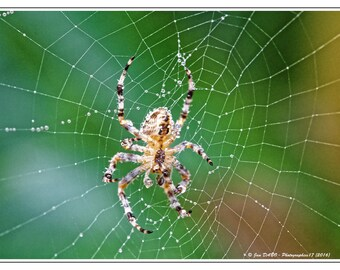 Spider epeire in Garden morning dew