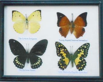 REAL 4 BUTTERFLY Wall Decor For Education Collectible Taxidermy Framed / BTF04A