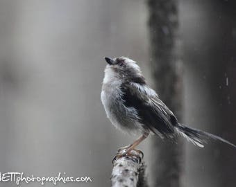 Photography: long tailed tit