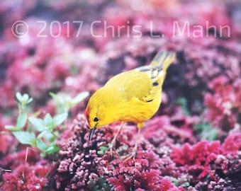 Yellow Finch Bird Photograph