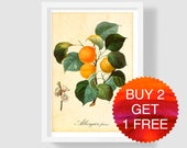 Apricot Botanical Illustration, Antique French Apricot Art Print, Vintage Apricot Home Decor, Apricot Wall Art, Handcolored Copper Engraving