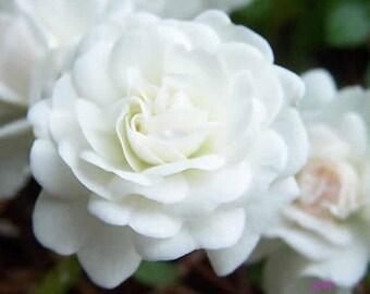 White Drift® Rose Bush 3 Gallon