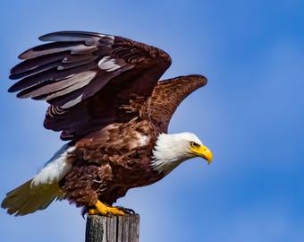 Bald Eagle Taking Flight.