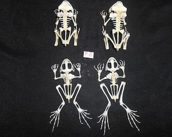 Taxidermy Real frog Skeleton 2 Species