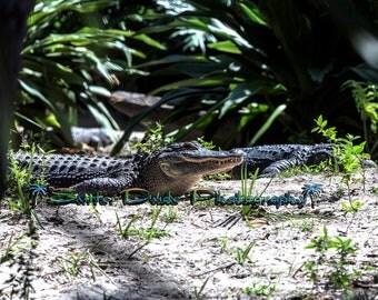 Alligator photo Reptile Nature photo Wildlife photo