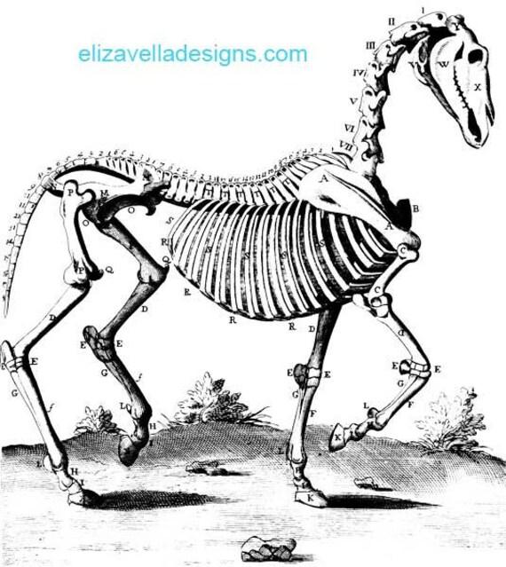 animal anatomy horse skeleton printable art digital download image graphics clipart png clip art vintage science digi stamp digital stamp