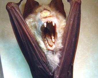 Real Framed Taxidermy Hipposideros Diadem Hanging Vampire Bat Shadowbox Display B1311