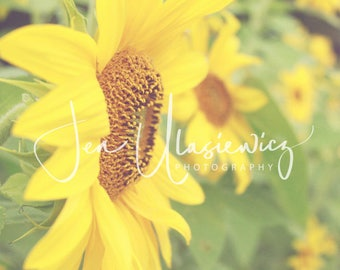 Autumn Sunflowers Nature Photography Print, flower, autumn, botanical
