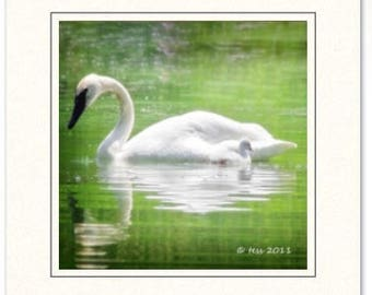 Swan Photography Greeting Cards - Photography Greeting Cards - White Swan Cards-  Swan And Cygnet Photo Cards - Nature Photography