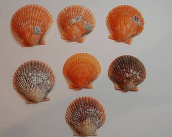 Orange Scallop Shells - From Crystal River, FLorida - Freshly Caught - Shells - Seashells - Orange Seashells - 7 Natural Shells  #146