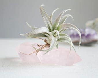 Crystal Air Plant Garden, Rose Quartz Wand and Chiapensis, Desk or Dorm Decor, Gift For Graduate Under 50