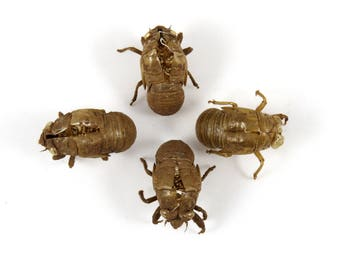 4 Cicada Exoskeletons, Creepy and Scary Bug Shells Insect Specimens Bug Skins, Stand on Own
