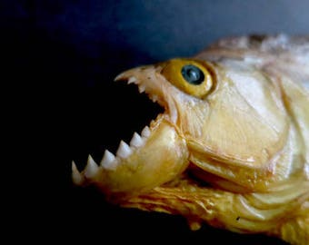Vintage Piranha Taxidermy In Perfect Condition From Artist Dave Archers Museum Of Oddities