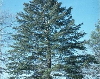 100 Blue Douglas Fir Tree Seeds, Pseudotsuga Taxifolia Glauca