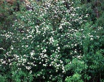 100 Black Hawthorn Tree Seeds, Crataegus Douglasii