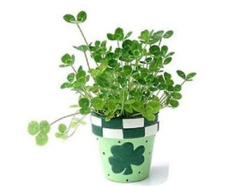 500 BULK Seeds St. Patricks Day Four Leaf Clover, Grow Your Own for Luck Mix, 3 and 4 Leaf Clover Seeds Mix