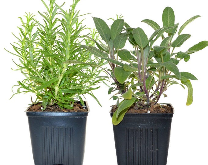 Herb Collection Rosemary and Sage Grown Organic Herb Plants Contains 2 Live Plants Potted - Great Gift for Gardeners Non-GMO