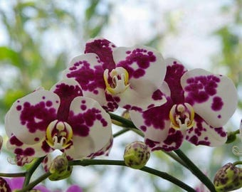 Orchid seeds, phalaeonopsis white purple orchid, white purple  orchids, code 529,orchid collection, gardening, flower seeds