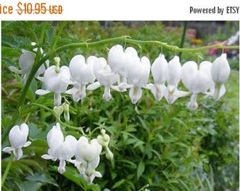 BIG SALE White Bleeding Hearts-(2 Roots) One of the most popular perennials for shade-Now Shipping