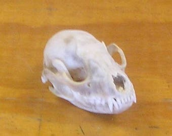 Clean Raccoon Skull