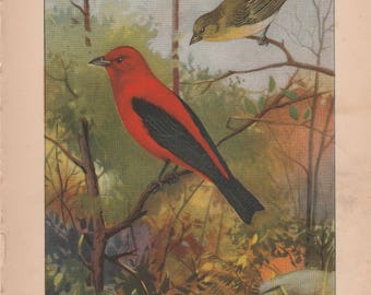 Scarlet Tanager/Swallow Antique Bird Print 1926 R. E. Todhunter