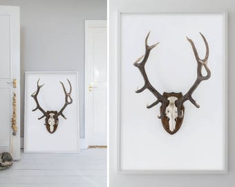 Photograph,  Antlers, Taxidermy, Wild, Animal, White, Brown, Home decor, Wall art, Home, Minimal, Print, Photo, Art