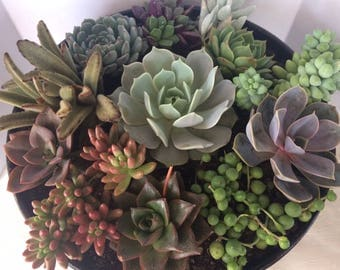Succulent Plant DIY Arrangement. Includes large composite planter, plants and soil.  Choice of Antique Red, Black or White Planter.