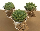 6 succulents in white pails - Custom order for Stacey