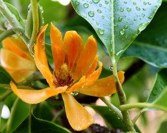 Michelia champaca VERY FRAGRANT 10 seeds