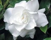 Cape Jasmine Gardenia * Fragrant * 20+ seeds + FREE Shipping