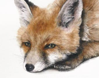 Red Fox - Print of a watercolour painting by Jan Taylor.