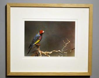 Australian Finch- Painting
