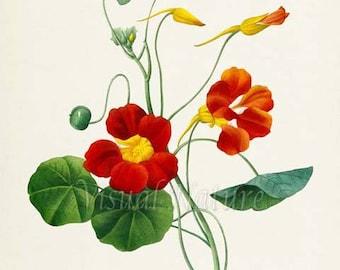 Indian cress Flower Art Print, Monks cress Botanical Art Print, Flower Wall Art, Floral Print, Redoute, red, yellow, Tropaeolum majus var