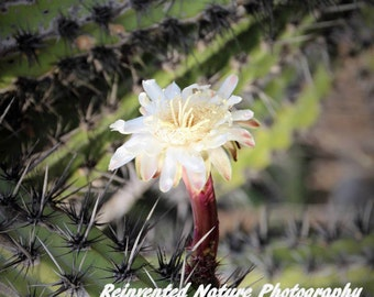 Cactus of Baja Photo - 4 of 4 - 12 x 12 Matted Original Photography  - Reclaimed Wood Frames