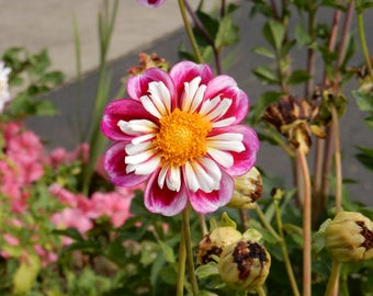 Photo Note card-Pink and white Dahlia