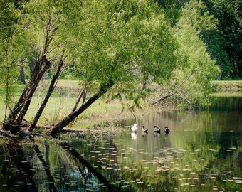 Water Reflections Photo, Lake Photography, Ducks in Pond, Beautiful Nature Fine Art Print, Lilly Pads, Mallard Duck, Louisiana Photography