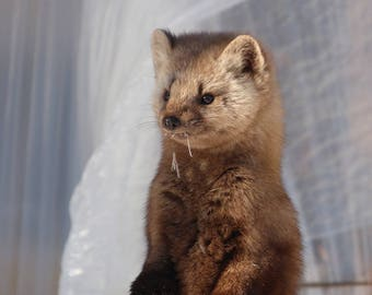mischievous marten - digital photography download - instant download, alaska, pine marten, wildlife