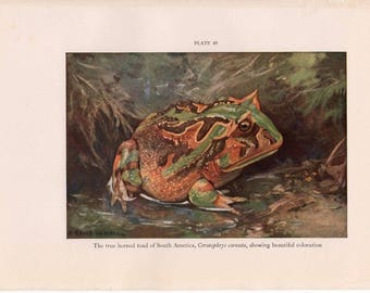 c. 1934 TRUE HORNED TOAD print - original vintage Amphibian print - frog print - of South mMerica