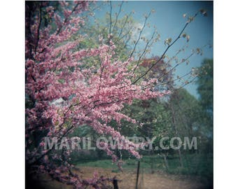Spring Photography Print, Redbud Tree in Prospect Park, 8 x 8 Inch Metallic Print, Nature Photography, Pink and Blue Wall Art