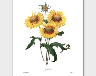 Sunflower Art, Yellow Botanical Print (French Country Wall Decor) -- Pierre Redoute