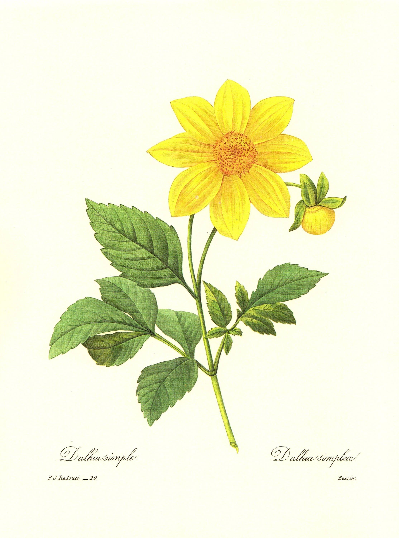 Gorgeous Vintage Yellow Dahlia Print Redoute Botanical Cottage Decor ...